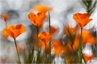 Sparkling Poppies, Merced River Canyon