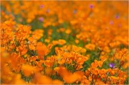 Poppies!, Hite Cove Trail, Merced River Canyon, California