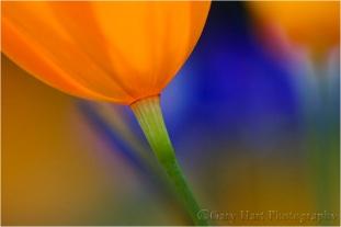 Poppy Lanterns, Merced River Canyon