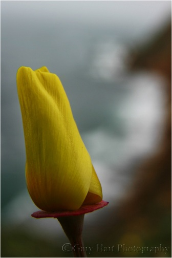 Gary Hart Photography: Poppy and Surf, Point Reyes National Seashore