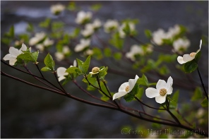 Sunlit Dogwood, Pohono Bridge, Yosemite