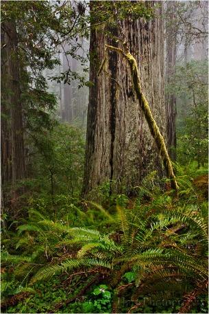Forest Light, Lady Bird Johnson Grove, Redwood National Park