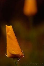 Raindrops on Poppy, California Gold Country