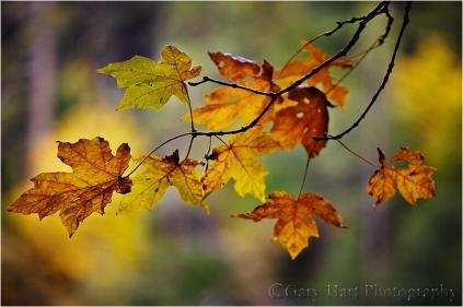 Forest Autumn, Yosemite