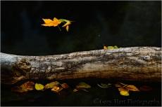 Floating Leaves, Merced River, Yosemite