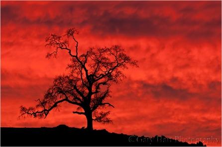 Red Sky, Oak at Sunset, Sierra Foothills