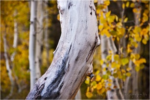 Aspen, Lundy Canyon, Eastern Sierra
