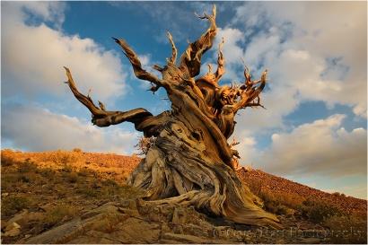 Ancient, Bristlecone Pine, Schulman Grove