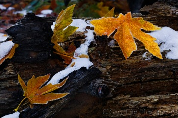 Snow and Autumn Leaves, Yosemite