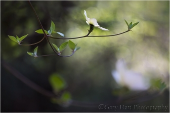 Floating Dogwood, Yosemite