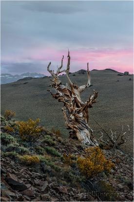 Bristlecone at Sunset, Schulmann Grove, White Mountains, California