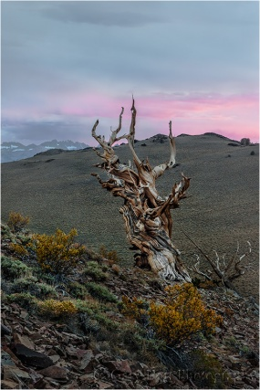 Bristlecone at Sunset, Schulmann Grove, White Mountains, California