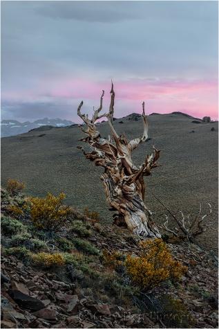 Bristlecone at Sunset, Schulman Grove, White Mountains, California