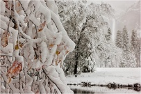 Fall into Winter, Dogwood and Bridalveil Fall in Snow, Yosemite