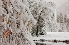 Fall into Winter, Dogwood and Bridalveil Fall in Snow, Yosemite