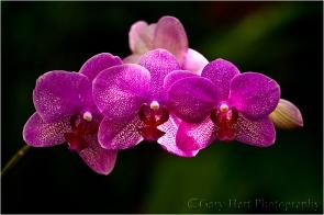Orchids, Hawaii Tropical Botanical Garden, Hawaii