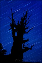 Bristlecone Star Trails, White Mountains, California: Here I silhouetted this ancient bristlecone pine against a background of star trails.