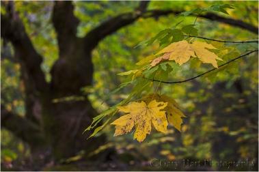 Autumn Leaves, Yosemite Valley