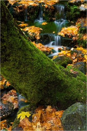 Fern Spring, Yosemite: Each spring I gauge the progress of the fall color in Yosemite Valley by the leaves around Fern Spring.