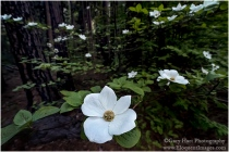 Gary Hart Photography: Forest Dogwood, Valley View, Yosemite