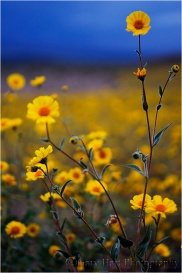 Gary Hart Photography: Field of Gold, Death Valley