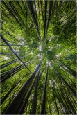 Bamboo Sky, Maui, Hawaii