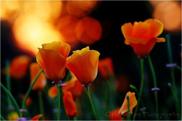 Backlit Poppies, Folsom, California