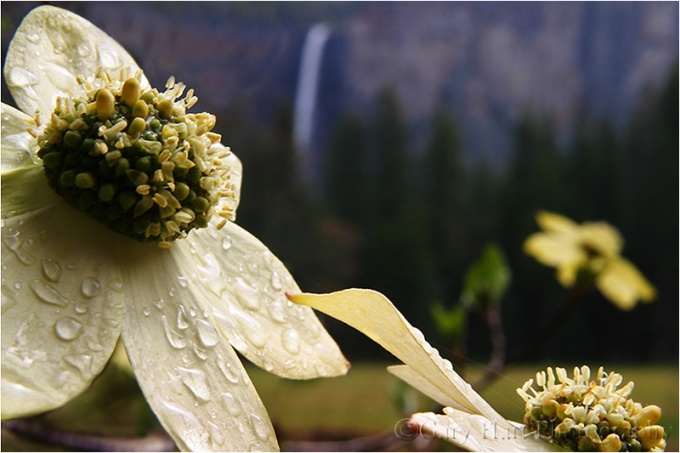 Bridalveil Dogwood, Valley View, Yosemite