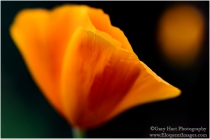 Gary Hart Photography: Echoes of Spring, California Poppies, Sierra Foothills