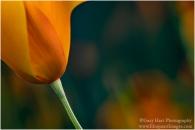 Gary Hart Photography: Kaleidoscope Poppy, Sierra Foothills, California