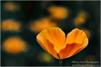 Gary Hart Photography: Catching Light, California Poppy, Sierra Foothills
