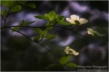 Gary Hart Photography: Dogwood and Rapids, Merced River, Yosemite