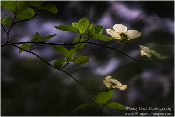 Gary Hart Photography: Dogwood and Rapids, Merced River, Yosemite