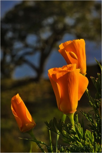 Poppies and Oak, Big Sur