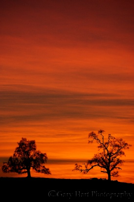 Gary Hart Photography: Flaming Oaks, Sierra Foothills, California