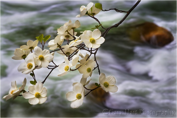 Dogwood and Rapids, Merced River, Yosemite