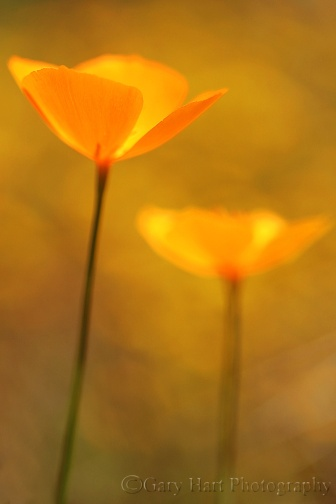 Gary Hart Photography: Champagne Glass Poppies, Merced River Canyon