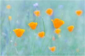Poppy Pastel, Sierra Foothills, California