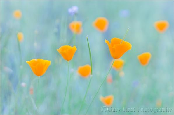 Poppy Pastel, Sierra Foothills, California