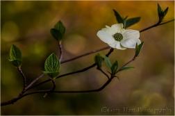Dogwood Bloom, Yosemite