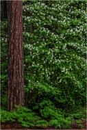Dogwood and Pine, Valley View, Yosemite