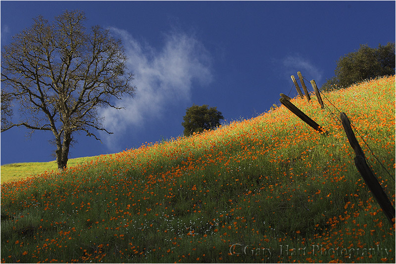 Poppy Hillside, California Gold Country