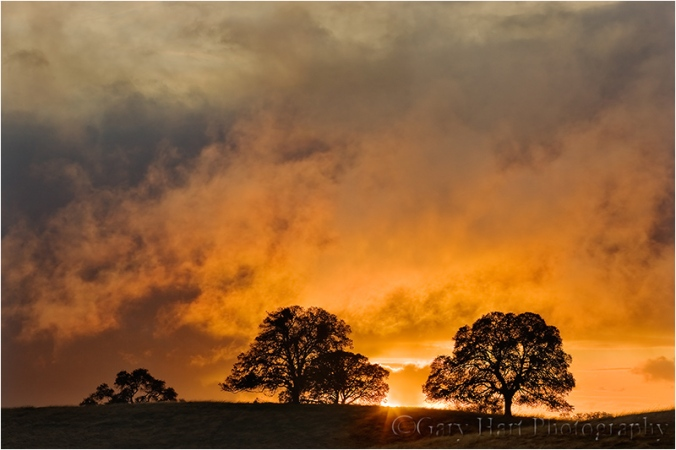 Oaks at Sunset, Sierra Foothills