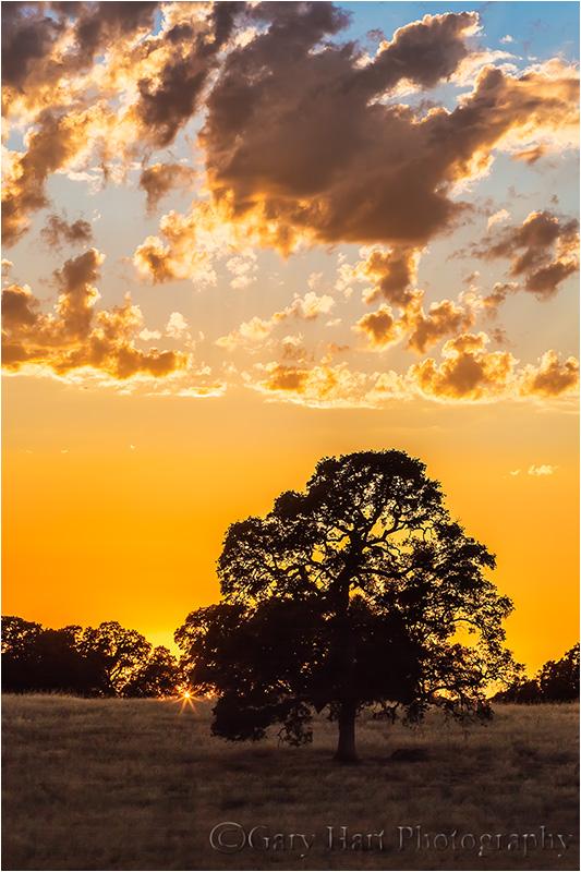 Sunburst, California Oak, Sierra Foothills