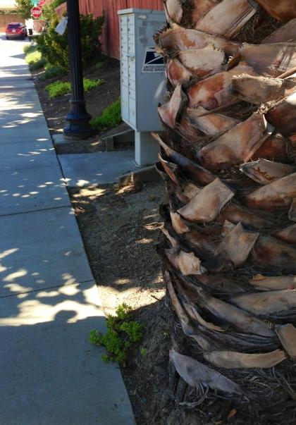 Mean Palm Tree, Sacramento