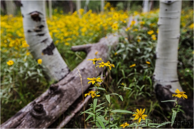 Wildflowers and Aspen, North Rim, Grand Canyon