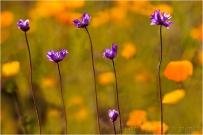 Wildflower Collage, Sierra Foothills, California