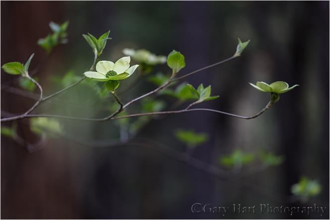Forest Dogwood, Yosemite Valley