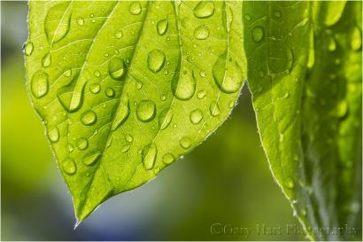 Raindrops, Dogwood Leaf, Yosemite