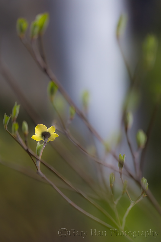 Spring, Dogwood and Bridalveil Fall, Yosemite